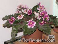 Saintpaulia ionantha, African violet  Click to see full-size image