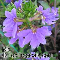 Scaevola aemula, Blue wonder, Escabola, Fan flower