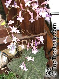 Streptocarpus sp., Strep  Click to see full-size image