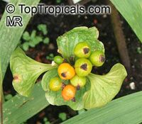 Tacca palmata, Palm-leaved TaccaClick to see full-size image
