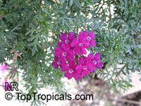 Verbena sp., VerbenaClick to see full-size image
