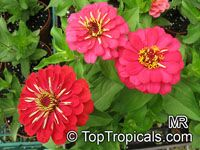 Zinnia sp., Zinnia