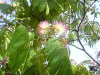 Albizia julibrissin, Silk Tree