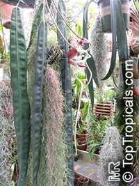 Anthurium wendlingeri, Strap-leaf Anthurium, Spiral Anthurium  Click to see full-size image