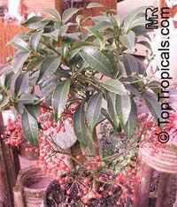 Ardisia crenata, Coral Ardisia  Click to see full-size image
