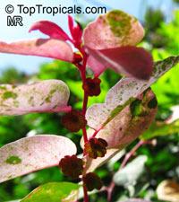 Breynia disticha, Breynia nivosa, Snow Bush, Hawaiian-Leaf Flower, Sweet Pea Bush, Calico Plant, Snow on the MountainClick to see full-size image