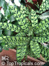 Calathea lancifolia, Calathea insignis, Rattlesnake Plant  Click to see full-size image