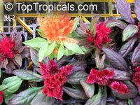 Celosia argentea, Cockscomb, Feathered Amaranth, Woolflower, Red Fox  Click to see full-size image