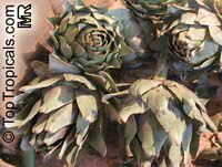 Cynara cardunculus, Artichoke  Click to see full-size image