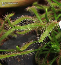 Drosera sp., Sundew