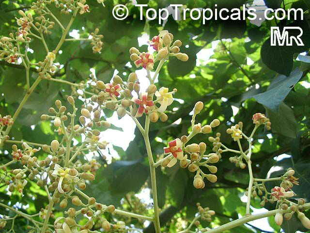 CHINESE PARASOL TREE Firmiana simplex FRAGRANT FLOWERS SHOWY FRUITS LARGE LEAVES