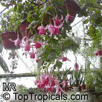 Fuchsia x hybrida, Fuchsia Hybrid  Click to see full-size image
