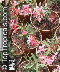 Gaura lindheimeri, White Butterfly, Whirling ButterflyClick to see full-size image