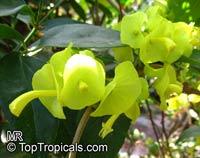Holmskioldia citrina, Holmskioldia sanguinea 'Citrina' , Mandarin Sunrise, Mandarins hat, Yellow Chinese Hat  Click to see full-size image