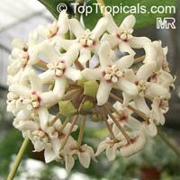 Hoya australis, Common Waxflower  Click to see full-size image