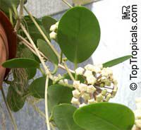 Hoya australis, Common Waxflower