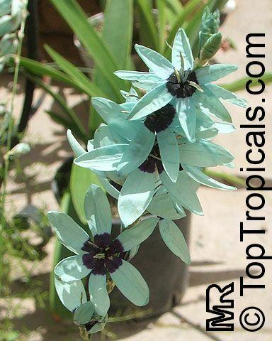 Ixia viridiflora, Green Ixia - TopTropicals com