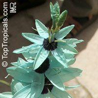 Ixia viridiflora, Green IxiaClick to see full-size image