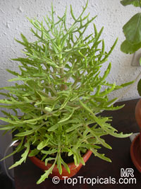 Kalanchoe laciniata, Christmas Tree Plant