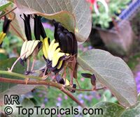 Kennedia nigricans, Black Coral Pea  Click to see full-size image