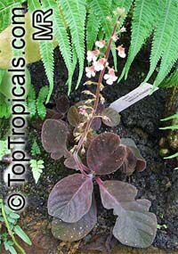 Koellikeria erinoides , Koellikeria  Click to see full-size image
