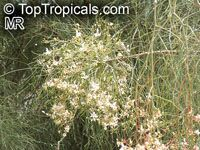 Moringa peregrina, Drumstick tree