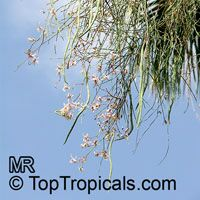 Moringa peregrina, Drumstick tree  Click to see full-size image