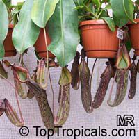 Nepenthes sp., Winged Nepenthes, Pitcher Plant  Click to see full-size image