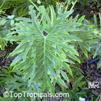 Philodendron bipinnatifidum, Philodendron selloum, Cut-leaf Philodendron, Tree Philodendron, Selloum, Self-header, Split leaf Philodendron  Click to see full-size image