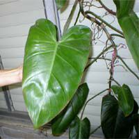 Philodendron erubescens, Blushing Philodendron, Redleaf Philodendron  Click to see full-size image