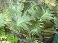 Philodendron pinnatifidum, Philodendron  Click to see full-size image