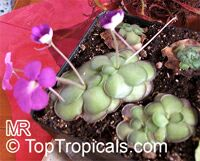 Pinguicula sp., Butterwort  Click to see full-size image