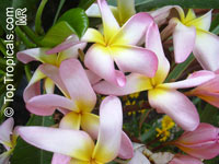 Plumeria Sang Aroon, grafted  Click to see full-size image