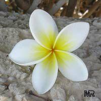 Plumeria rubra Yellow, Plumeria acutifolia, Frangipani, Temple tree, CalachuchiClick to see full-size image
