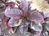 Pseuderanthemum carruthersii var. atropurpureum, Pseuderanthemum atropurpureum, Purple False Eranthemum  Click to see full-size image