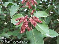 Rhus ovata, Sugar Bush, Chaparral Sumac  Click to see full-size image