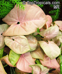 Syngonium podophyllum, Arrowhead vine, Nephthytis, African evergreen