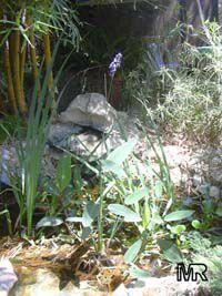 Thalia dealbata, Powdery Thalia, Hardy Canna, Water Canna, Alligator Flag  Click to see full-size image