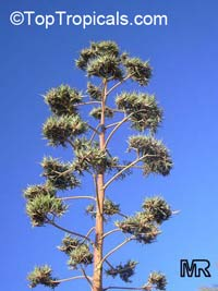 Agave americana, Century plant  Click to see full-size image