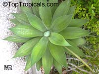 Agave attenuata, Fox Tail Agave, Swan's Neck Agave