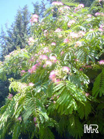 Albizia Julibrissin   Silk Mimosa Click To See Full Size Image
