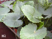 Alocasia odora, Giant Upright Elephant Ear  Click to see full-size image