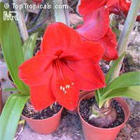 Hippeastrum sp., Amaryllis