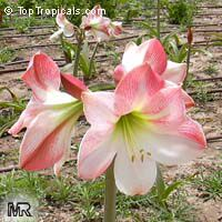 Hippeastrum sp., Amaryllis  Click to see full-size image