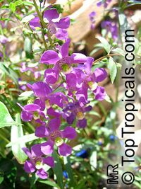 Angelonia goyazensis, Angelonia angustiflolia, Angel Mist, Summer Snapdragon, Angel Flower