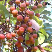 Arbutus andrachne, Grecian strawberry tree  Click to see full-size image