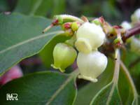 Arbutus andrachne, Grecian strawberry tree
