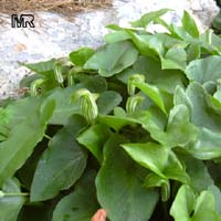 Arisarum vulgare, Friar's Cowl  Click to see full-size image