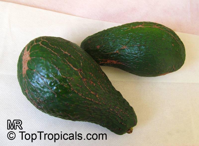 Avocado (Persea americana) varieties - TopTropicals com