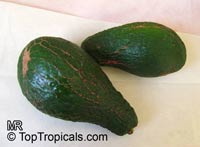 Persea americana - Avocado Ettinger, Grafted
